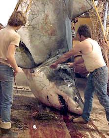 Squalus carcharias le tr s grand requin blanc - Gros vers blancs dans le compost ...