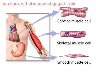 Heart Muscle Disease | Daily Health Tips: Heart muscles - Cardiac ...