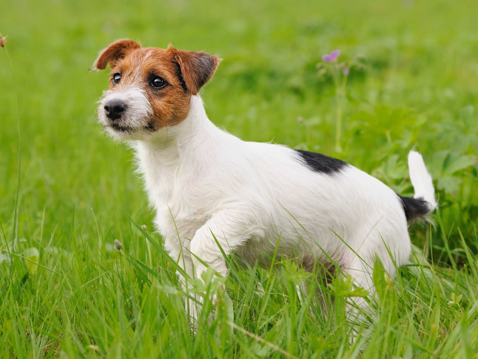 Problems That Can Be Prevented With Jack Russell Training