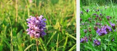 self heal  herbal medicine
