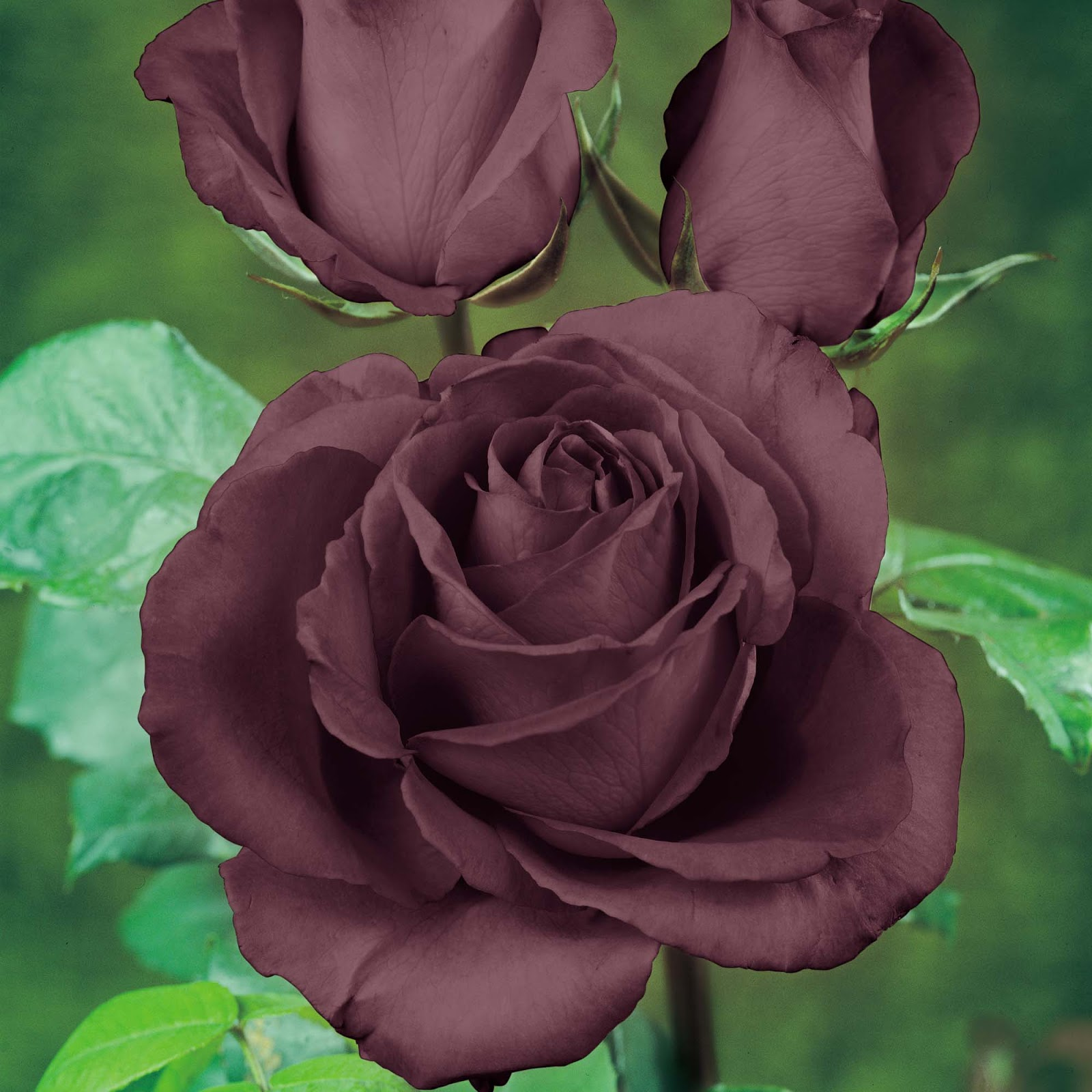 How to grow the black rose the garden of eaden for How to make black roses