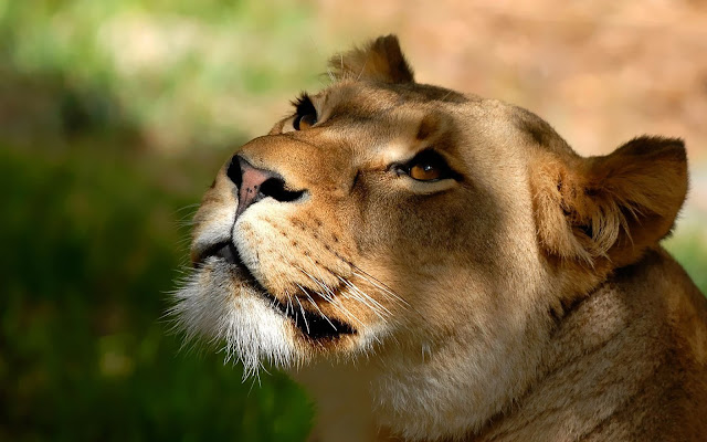 Close up photo of a lion, the king of the jungle