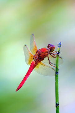 Red Dragonfly 411