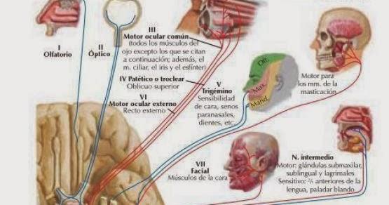 Tecnicas de ayuda odontologica tao los nervios for 12 paredes craneales