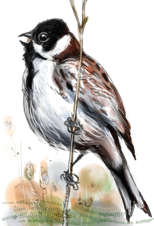 Reed Bunting sketch painting. Bird art drawing by illustrator Artmagenta