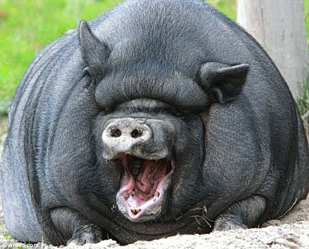 Funny Pot Belly Pig Wallpapers & Photos 2013 | Funny Animals Fattest Animal In The World
