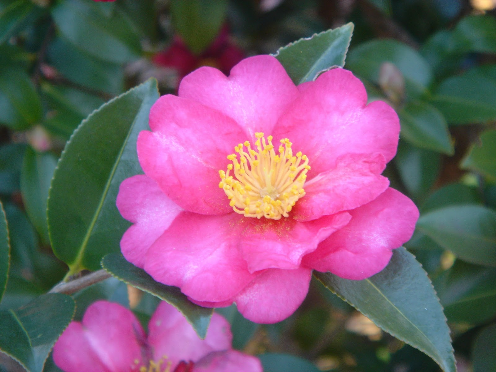 Crabapple landscapexperts stay green throughout winter for Camellia sasanqua