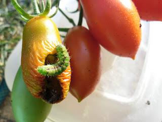 Совка капустная грызет помидоры