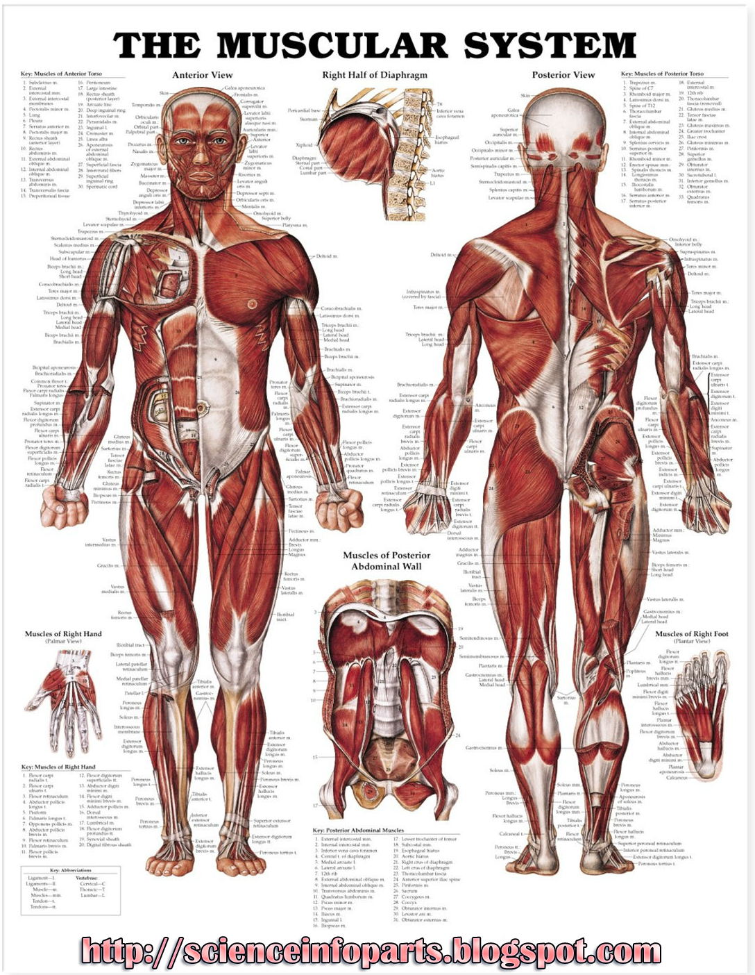 muscular system | science, biology,human and body parts best, Muscles