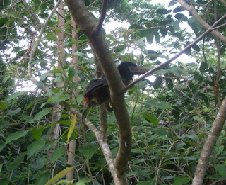 Collared Aracari,Pteroglossus torquatus, La Ceiba, Honduras