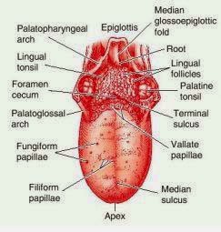 anatomi lidah