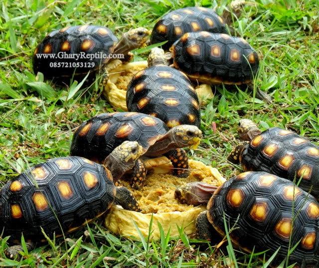 Kura kura Yang Cocok Untuk Pemula