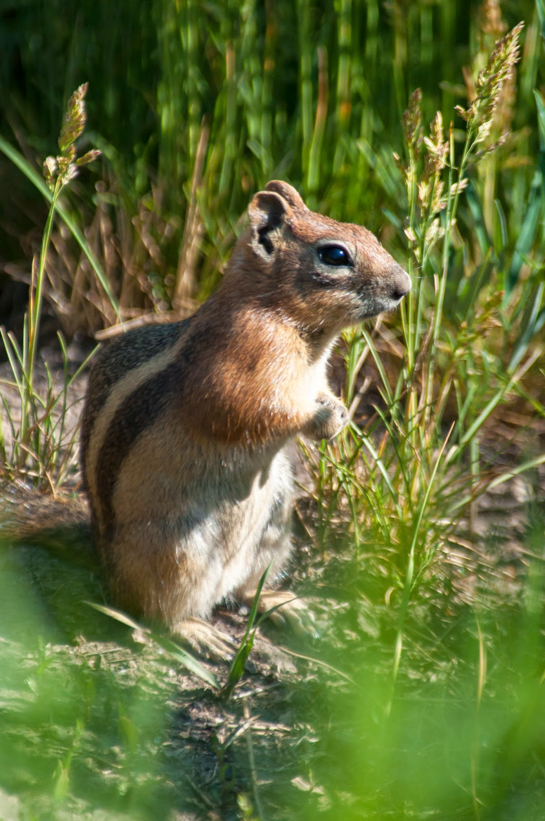 Ground Squirrel on the Brush Creek Trail