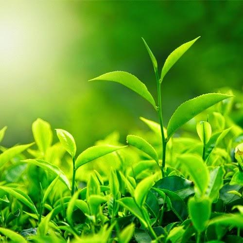Công dụng trà xanh đối với sắc đẹp