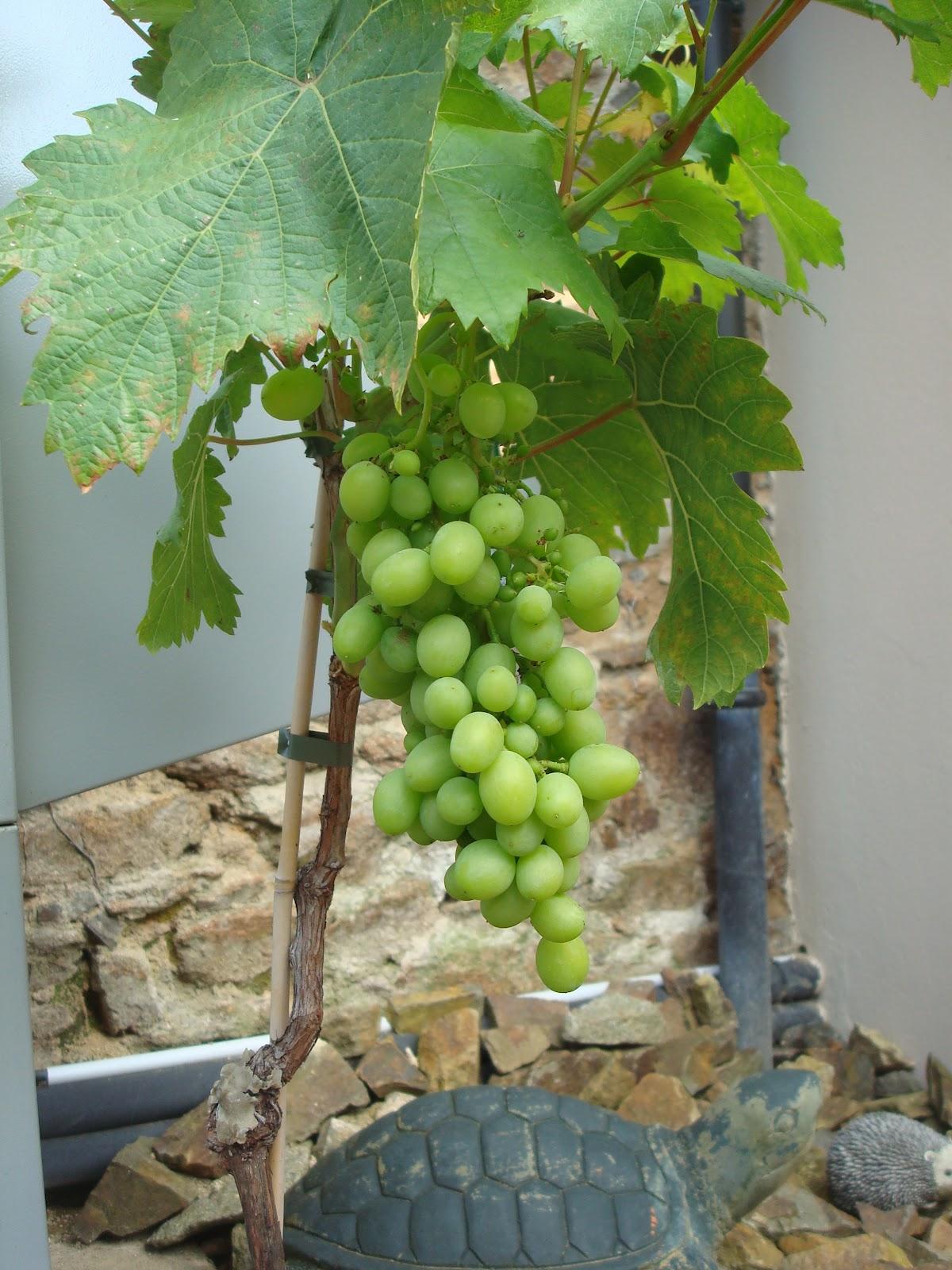 Fleuriste isabelle feuvrier mon plant de raisin - Pied de vigne en pot ...