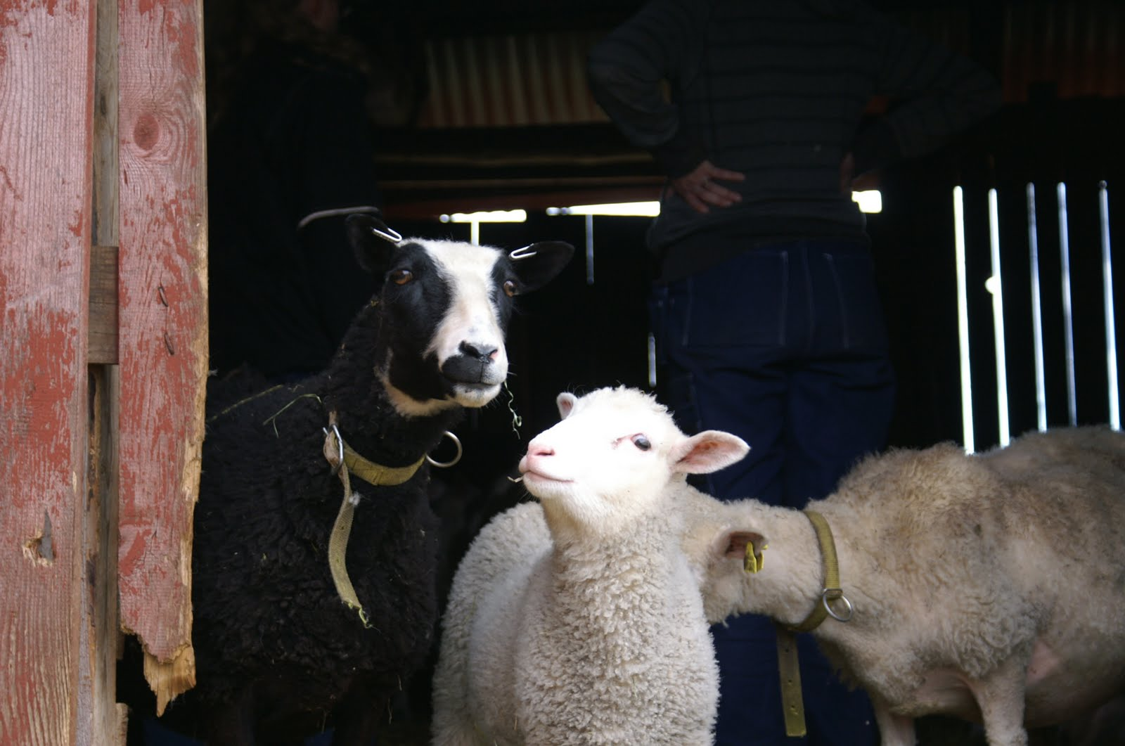 bra kraftfoder till får