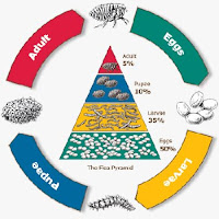 Flea pyramid and life cycle