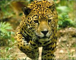 Jaguar - Balam (maya)