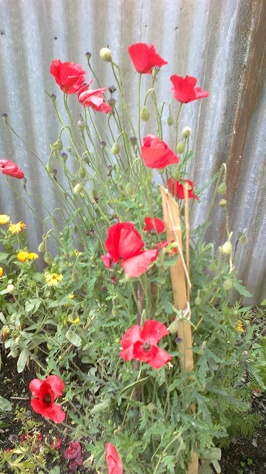 Lovely Poppy Flowers