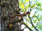 """Un esquirol amagat entre els pins. Autor: Francesc """"Caminaire"""""""