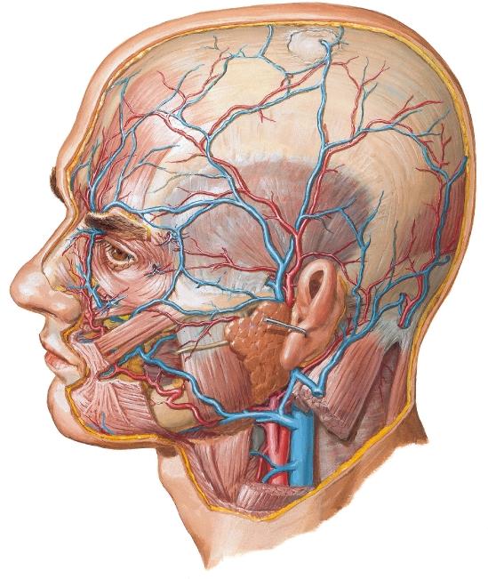 Arterias y venas superficiales de la cara y el cuero cabelludo ...