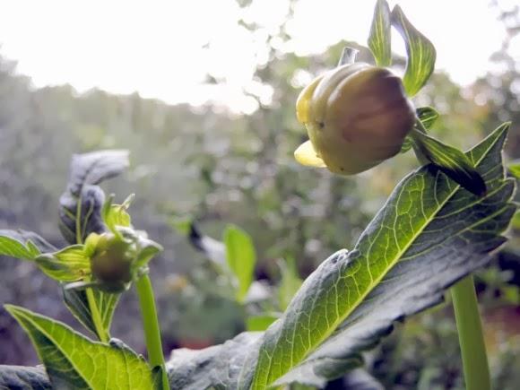 katiecrackernuts.blogspot.com || summer garden dahlia