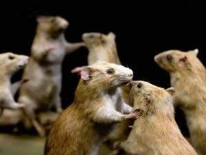 Jaringan Broadband Putus Digigit Tikus