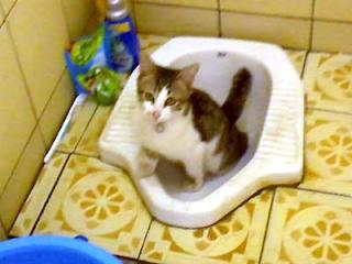 Melatih kucing buang air di Kamar mandi