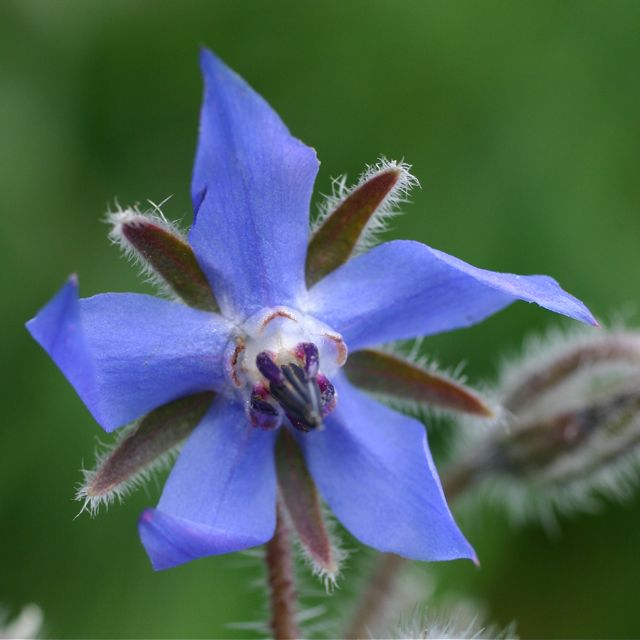 Borage Flower