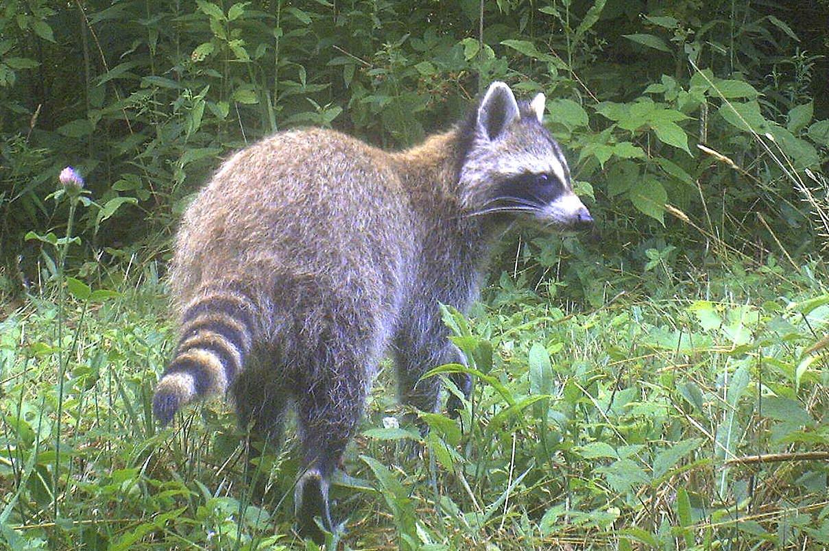backyard beasts eastern coyote summer coat