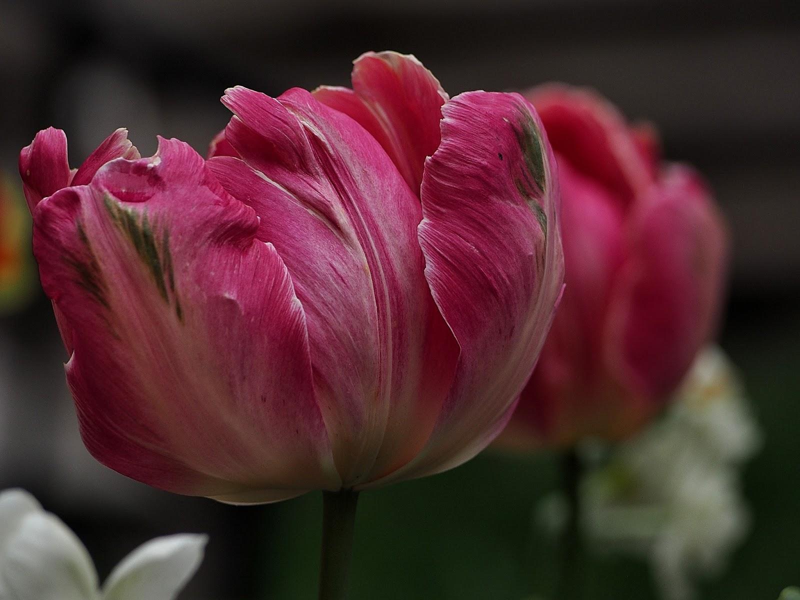 Parrot Tulip - Westside Community Garden #parrottulip #nyc #tulip #westsidecommunitygarden