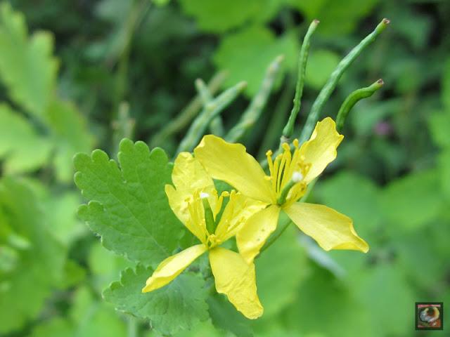 Chelidonium majus, celidonia mayor, planta del yodo, hierba golondrinera