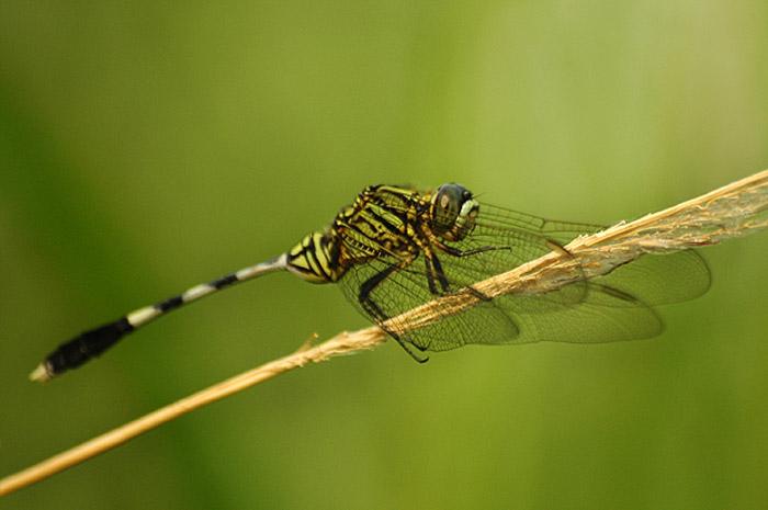 capung dragonfly - sarimin
