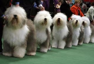 perros de exposición