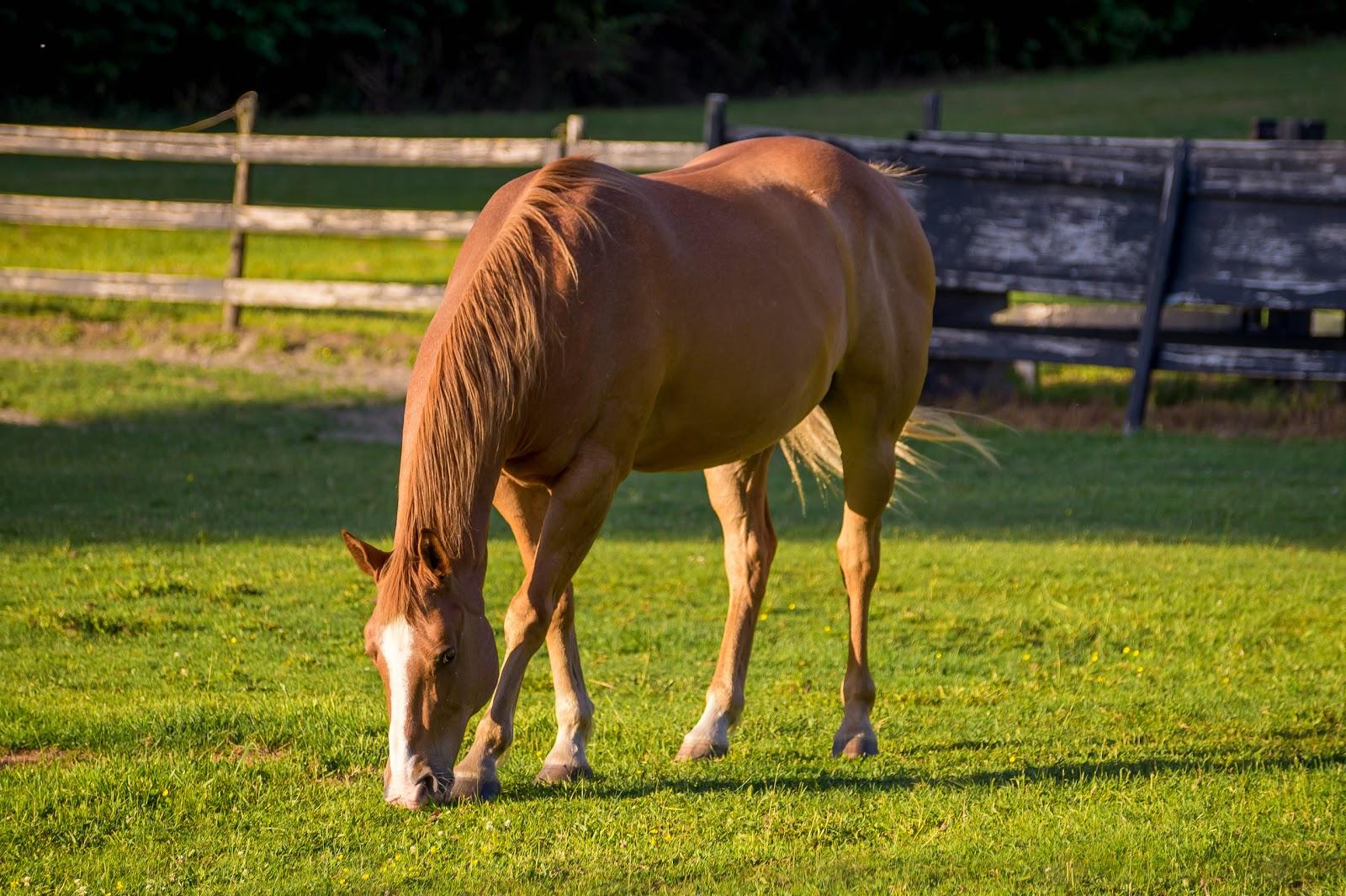 В деревянных загонах неспешно выгуливаются кони.