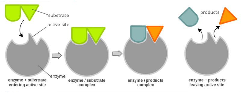 grade 12 biology enzymes Sbi4u, biology sch4u, chemistry  biology, grade 12, university preparation  analyse technological applications of enzymes in some industrial processes, and.