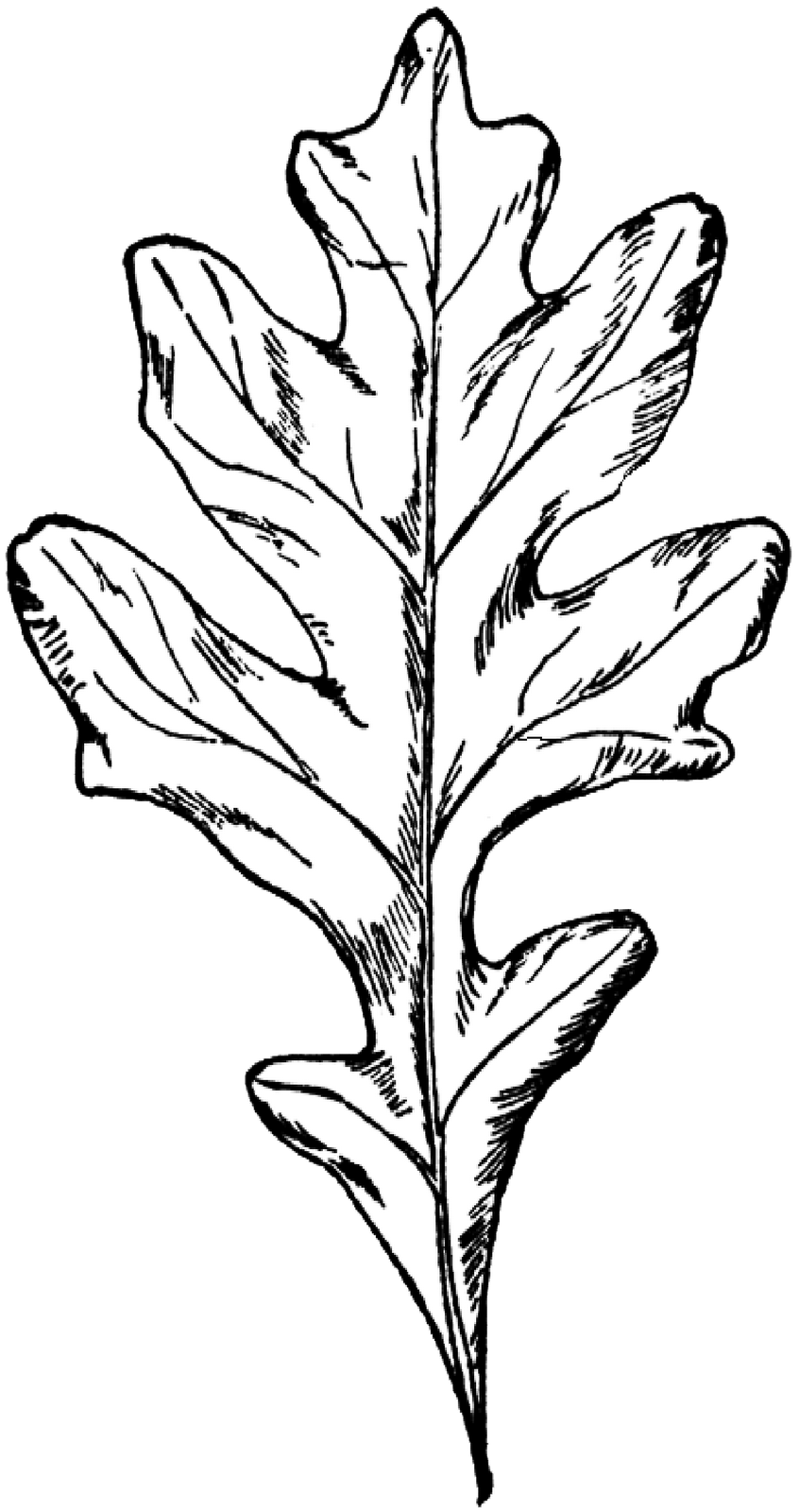 oak leaf coloring pages - photo #33