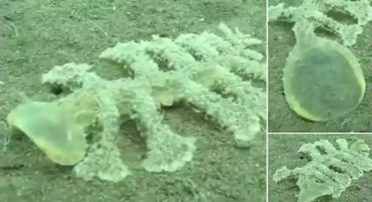 Μυστηριώδες πλάσμα με 13 πόδια και διάφανο κεφάλι εντοπίστηκε στο Μπαλί [Βίντεο]