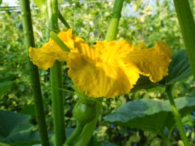 南瓜の花と実。