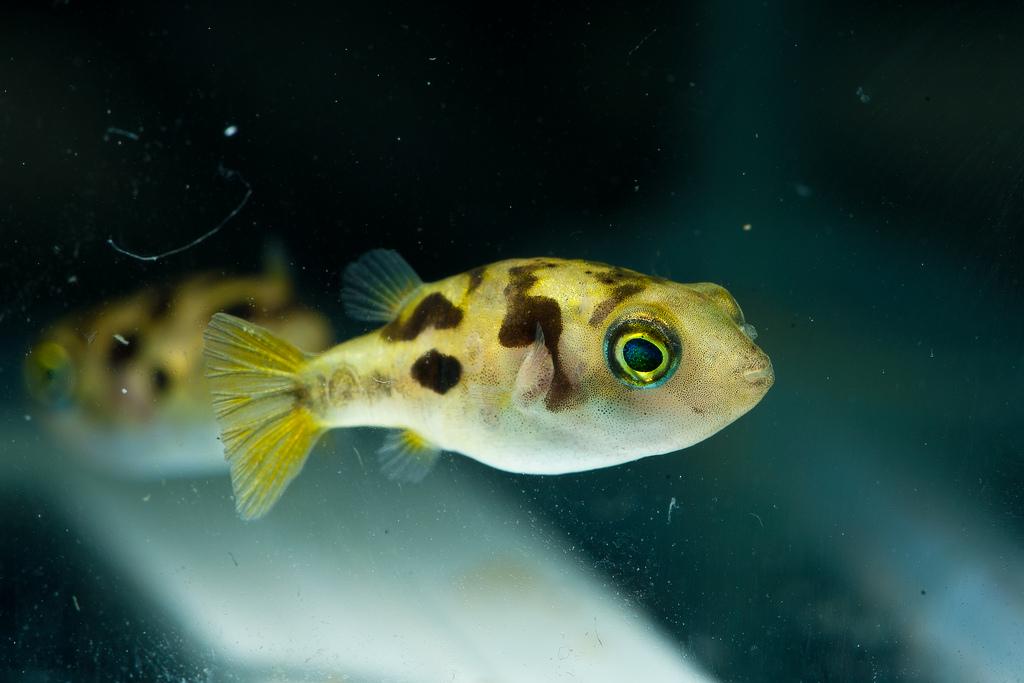 Aquarium world puffer fish dwarf puffer for A puffer fish