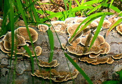 https://www.etsy.com/listing/247631400/fungus-growing-on-a-fallen-log-near-a?ref=shop_home_active_2