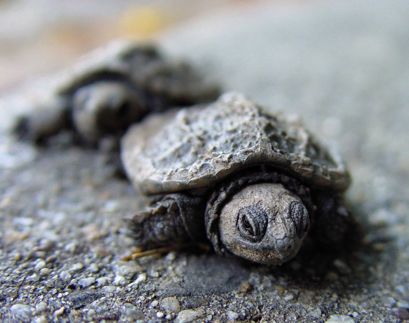 Encyclopaedia of babies of beautiful wild animals the baby turtle - Cute turtle pics ...