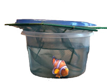 Ocellaris Clownfish in freshwater dip for Oodinium treatment or prevention