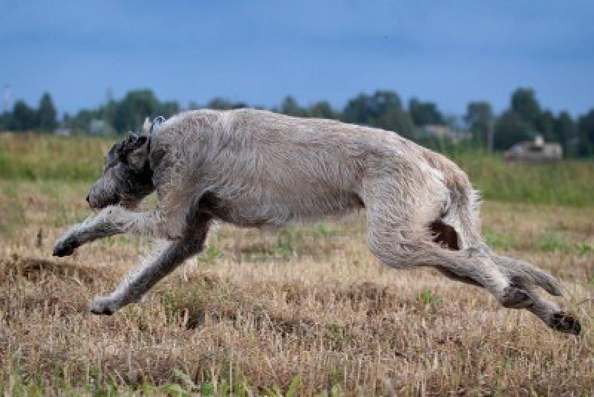 Irish Wolfhound running...