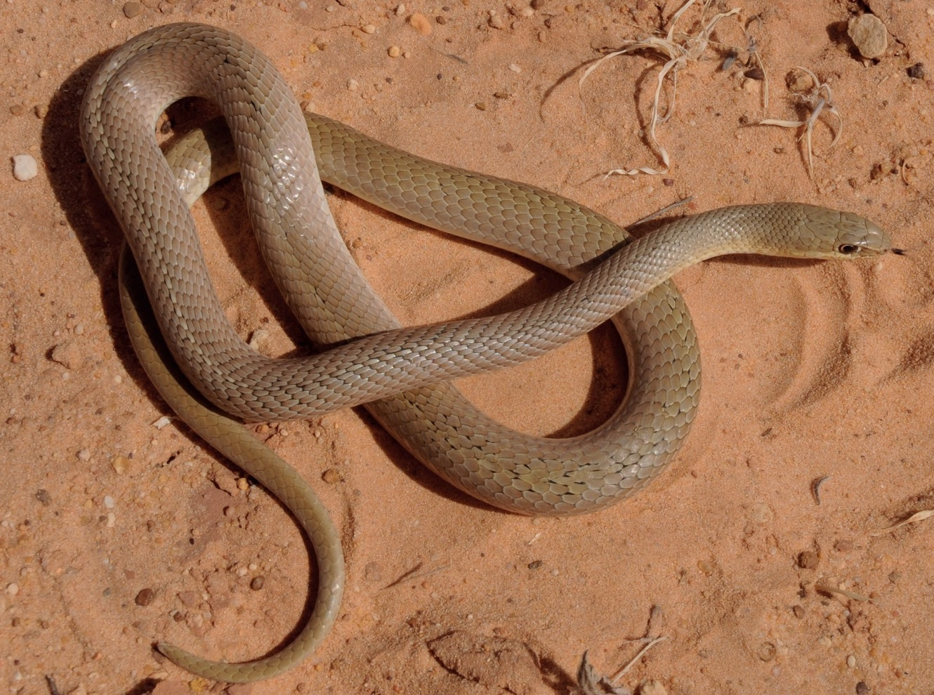 Psammophis afroccidentalis