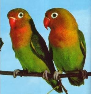 foto lovebird fischer's