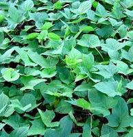 Manfaat daun ubi jalar