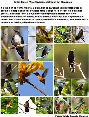 Beijas-flores registrados em Miracema (clique na imagem)