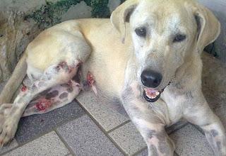 dog skin cancer pictures