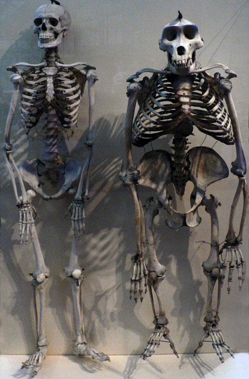 Un esqueleto humano comparado con un esqueleto de gorila